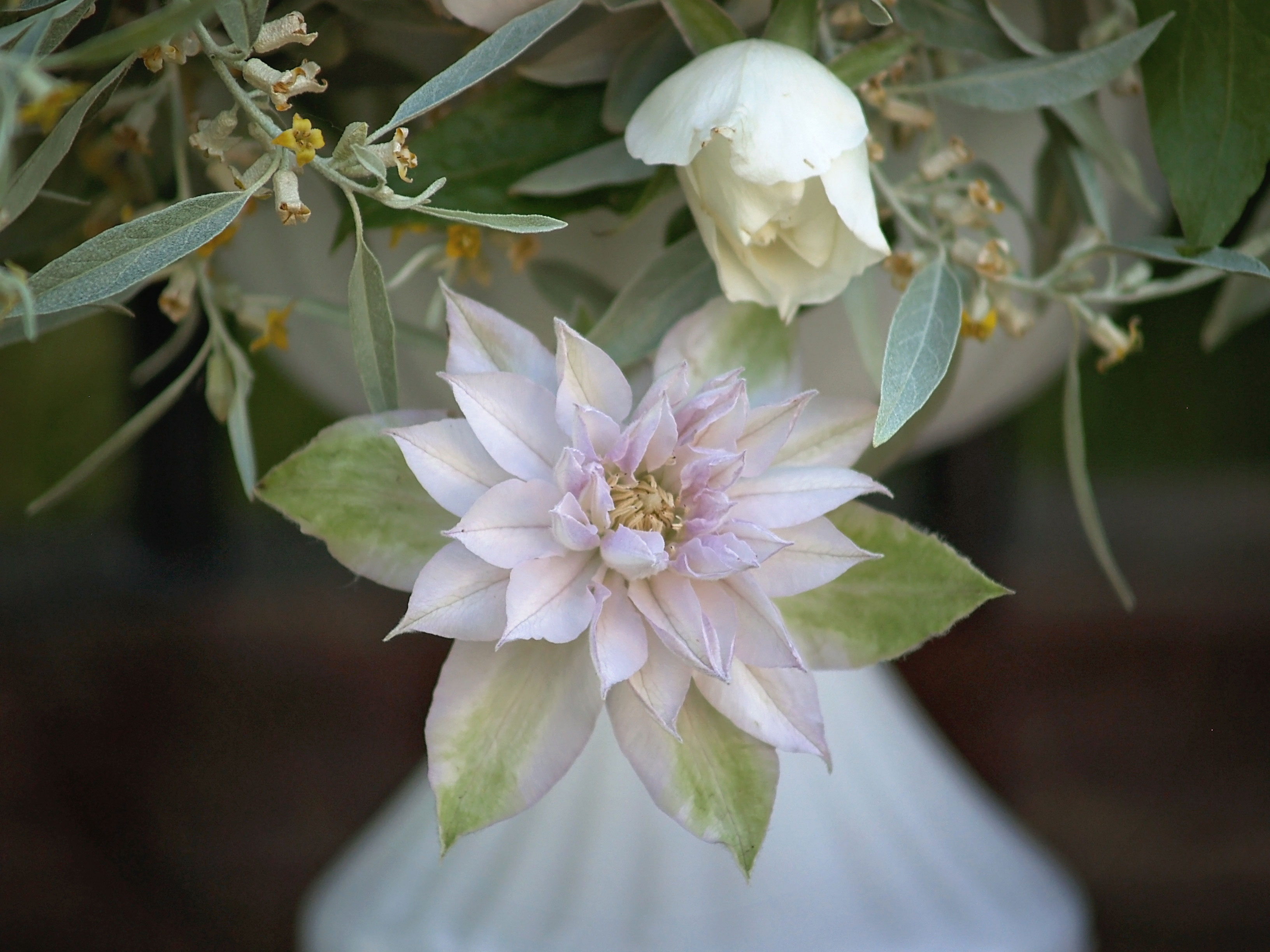 pastel double clematis bloom